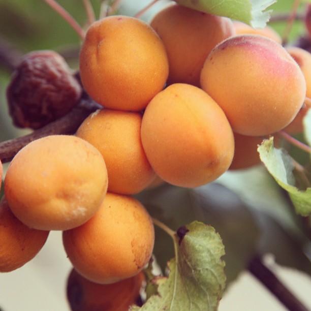 Apricots! | Apricot Farm, Shangrila Skardu | Lower Katchura Lake, Baltistan PAK