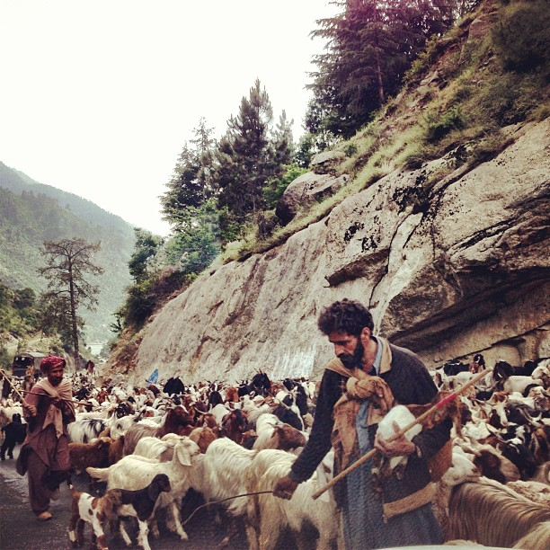Traffic Jam ! | The Gujjars & 1,001 Sheep / Dumba | Neelam Valley, Azad Jammu Kashmir PAK