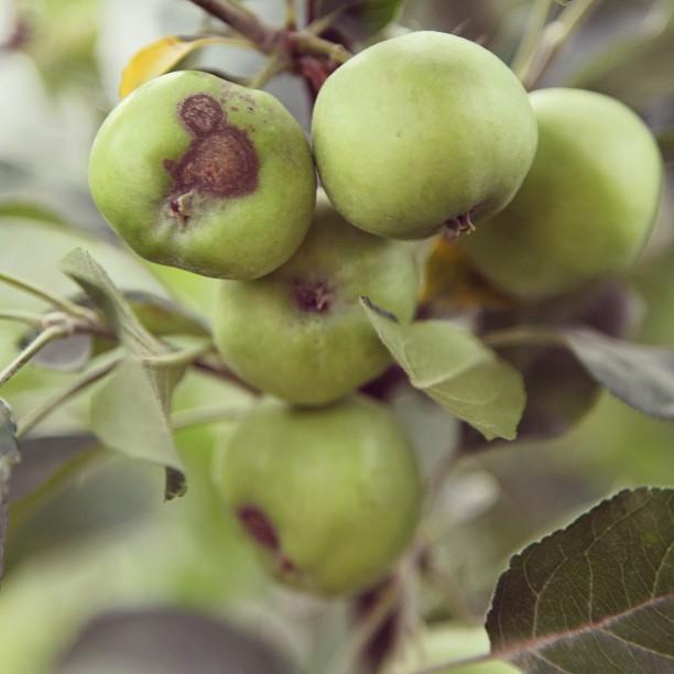 Green Apples | Orchard, Pearl Continental Hotel | Muzaffarabad, Azad Kashmir PAK