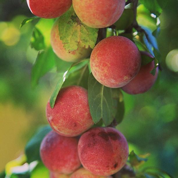 Fresh Apricots | Shangrila Skardu, Lower Katchura Lake | Baltistan, Northern PAK