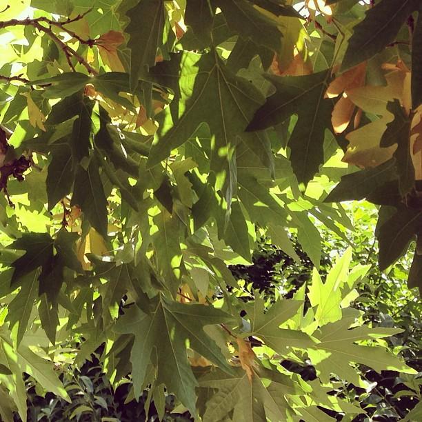 Musim Panas Membahang | Chinaar Trees | Isloo PAK