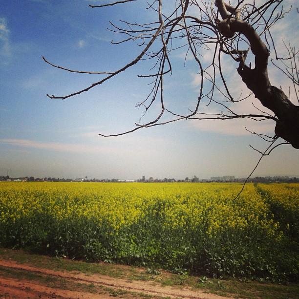 Mustard Field | Chak Shahzad Farm, Isloo PAK
