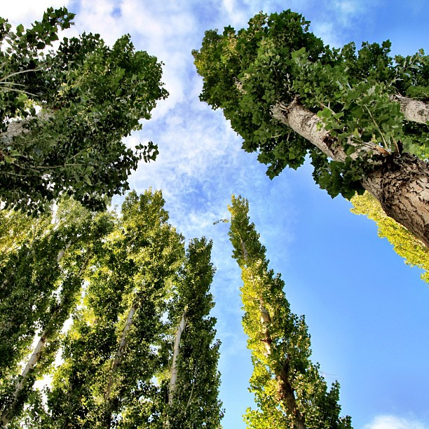 Poplar Trees | Near Baltit Inn, Karimabad | Hunza Valley | Gilgit-Baltistan | Northern PAK