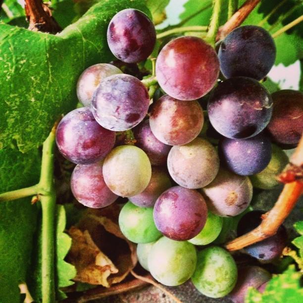 Purple Grapes | Isloo PAK #newvscocam