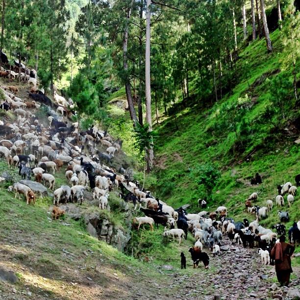 Grazing Valley | The Gujjars Series | Garhi Habibullah, Mansehra | Khyber Pakhtoonkhwa Province PAK
