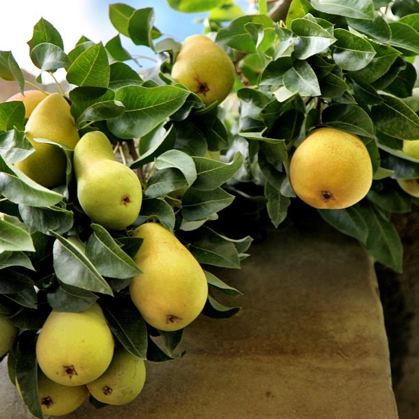 Pickable Pears | Eagle Nest Hotel, Duikar | Hunza Valley | Gilgit-Baltistan, Northern PAK