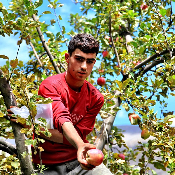 Yer Lal Wala ! | Apple Farm, Aliabad | Hunza Valley, Gilgit-Baltistan | Northern PAK