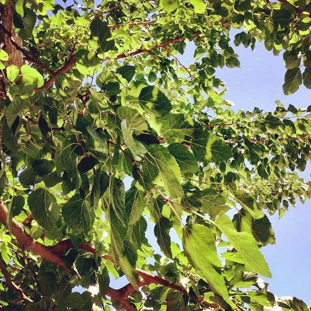The Old Berries Tree | Charpoy Serais | Pari Village, After Jaglot to Gilgit | Karakoram Highway | Gilgit Baltistan, Northern Pakistan