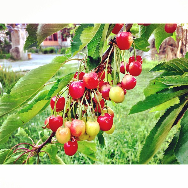 Fresh Cherries | Eagle Nest Hotel, Karimabad | #Hunza Valley | #Gilgit-Baltistan #Pakistan