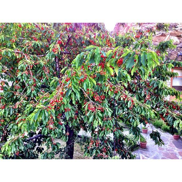 Fresh Cherries   Eagle Nest Hotel, Karimabad   #Hunza Valley   #Gilgit-Baltistan #Pakistan