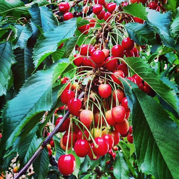 Fresh Cherries | Duikar, Hunza Valley | Gilgit-Baltistan, Northern Pakistan