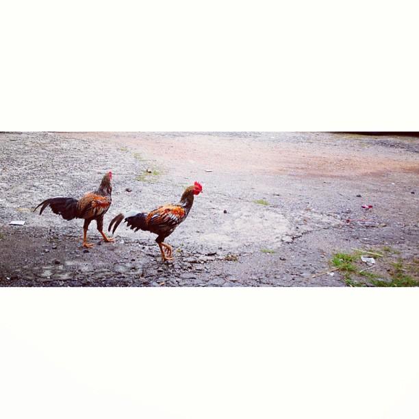 The Making of Rendang Cili Api Ayam Kampung Dendang Perantau | Masjid Tanah | Melaka, Malaysia