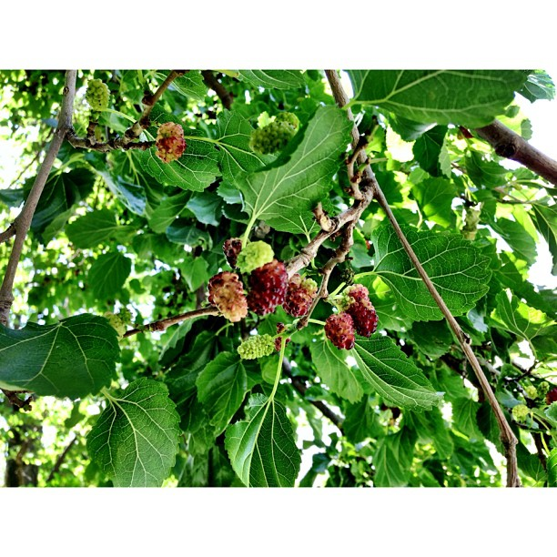 Fresh Red Mulberries | Memang Sedap Cecah Roti | #Altit Fort | Altit Village | #Karakoram Highway Journey | #Hunza Valley | #iPhonegraphy | #Gilgit-Baltistan Region | Northern #Pakistan