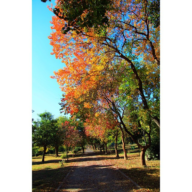 Leaves of Chinese #Tallow Trees in Splash of Colours During Peak Autumn & Early Winter Season | #Autumn 2012 | #Slyvan Park, Near #Kachnar Park I8 Sector | In Front of Shifa Hospital | #Islamabad, Pakistan