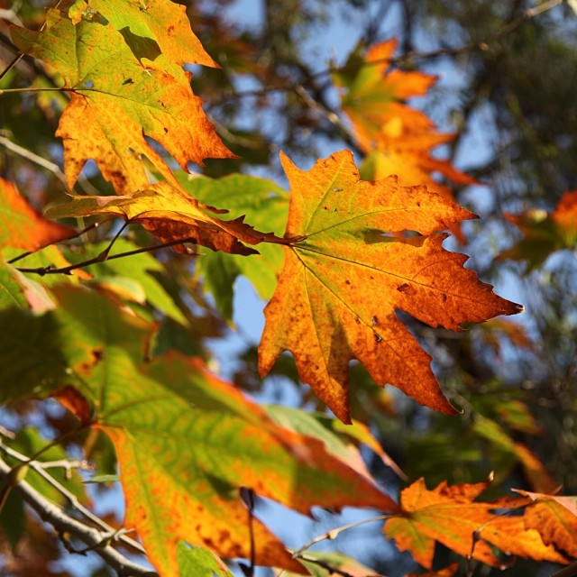 #Maple Leaves Are Falling | #Chinaar Tree | #Autumn 2011 | Near Governor House | #Kashmir Point | #Murree Hill | The #Galliyat | #Punjab Province, #Pakistan