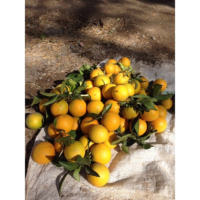 Best Orange In Khanpur | #Mosambi Orange or Sweet Lime | #Citrus #Limetta | #Winter 2013 | Fruit Walla | #Khanpur Orange Farm | Early #Orange Season | Khyber #Pakhtunkhwa Province, #Pakistan