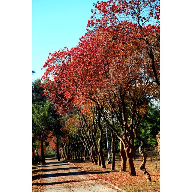 Leaves of Chinese #Tallow Trees in Splash of Colours During Peak Autumn & Early Winter Season | #Autumn 2012 | #Slyvan Park, Near #Katchar Park I8 Sector | In Front of Shifa Hospital | #Islamabad, Pakistan