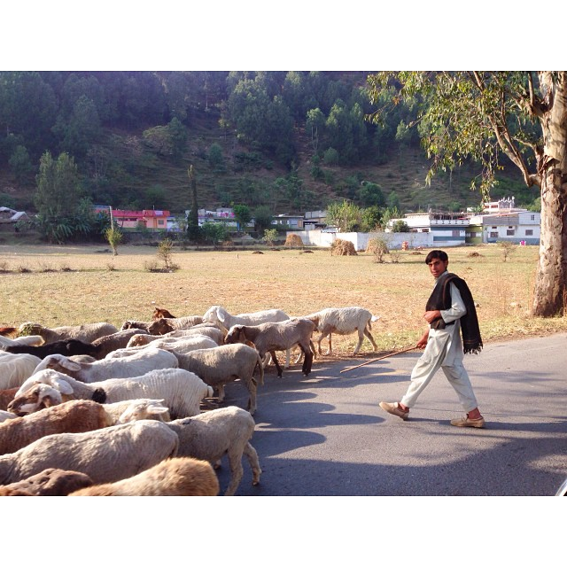The Gujjar & His Sheep | Near #Kunhar River, #Balakot | #Karakoram Highway | #Autumn 2023 | iPhoneography | Khyber Pakhtoonkhwa Province, #Pakistan