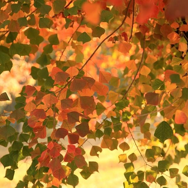 Chinese #Tallow Trees or Popcorn Trees | Faisal Avenue | #Autumn 2013 | #Islamabad, Pakistan