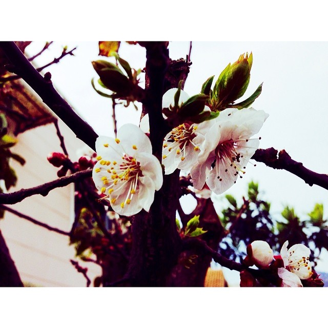Apricot Blossom | #Spring Is In The Air | Cold Spring 2014 | #BertabahlahIsloo | Sector E11 | #Islamabad, Pakistan