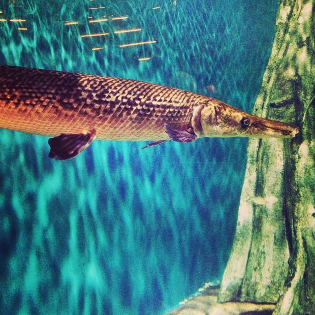 See U Later Alligator Fish | #VisitMalaysia #igersMY | #AquariaKLCC | Kuala Lumpur | Malaysia